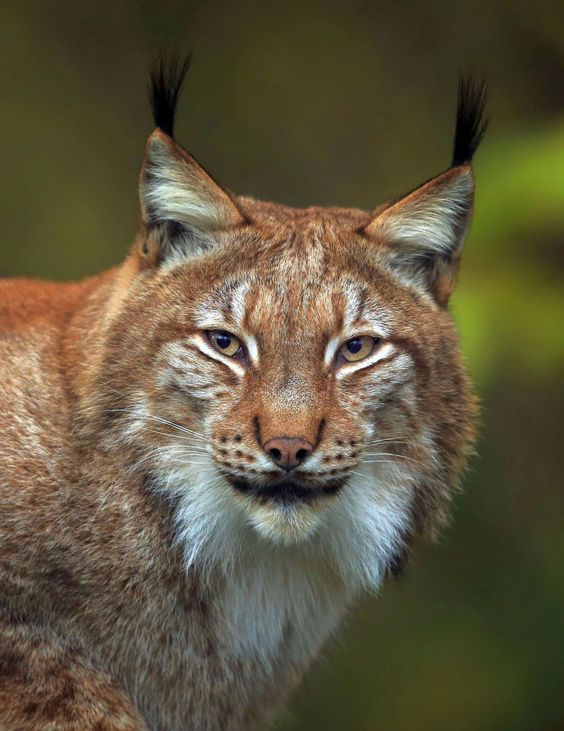 Luchs Portrait by © loramulle