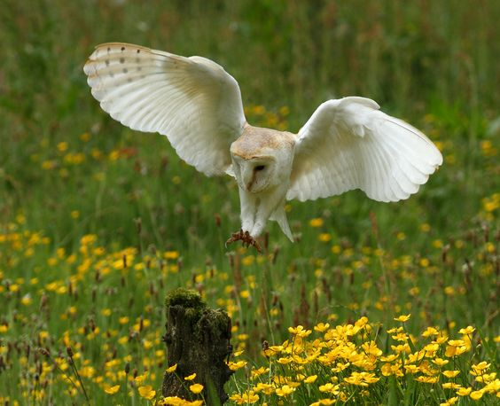"""Barn Owl"" by Vic. Parsons., via 500px. ""on final approach."""