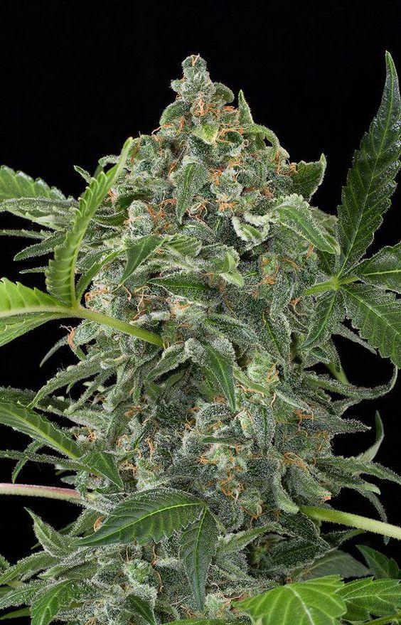 White Cheese Autoflowering Cannabis seeds Dinafem. White Cheese autofloreciente semillas de Dinafem. #DinafemSeeds #Seeds #Cannabis #Marijuana #Marihuana #Semillas #Autoflowering #Autoflorecientes