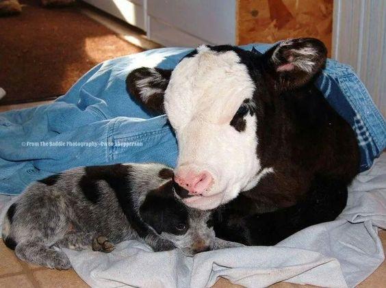 Austrian Cattle Dog