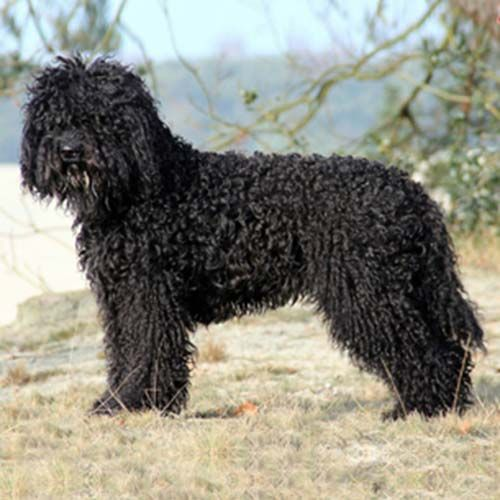 Barbet Dog Breed Information Dog Breeds Dogs Akc Breeds