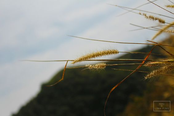 ดอกหญ้า on a mountain @ Chiang Mai, Thailand #fotobylinhping