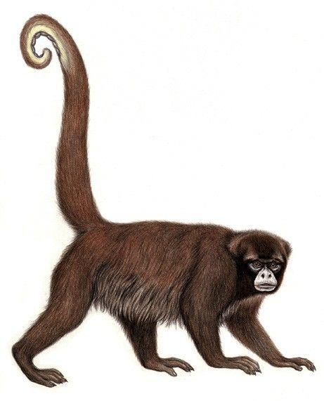 Mono chorro de cola amarilla.