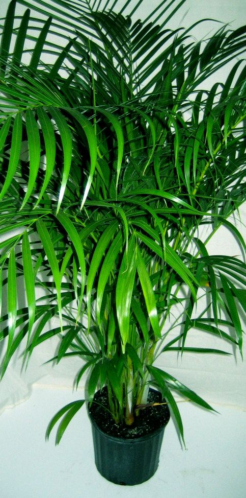 Areca palm 4 pot tropical patio palm tree live plant for Pictures of areca palm plants