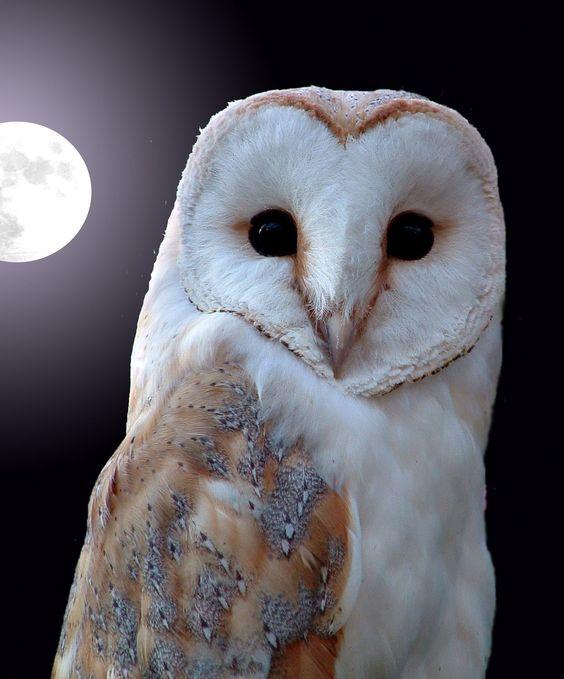 European Barn Owl, (Titus Alba), basks in the glow of a full moon.