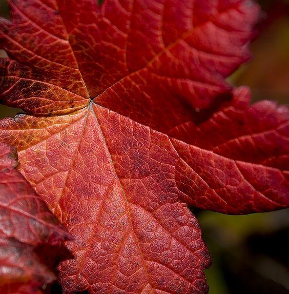 Haustlauf - Autumn leaf: Loving Autumn, Autumn Leaves, Haustlauf Autumn, Leaves Magnificent, Autumn Halloween, Fall Autumn, Issey Miyake, Autumn Leaf