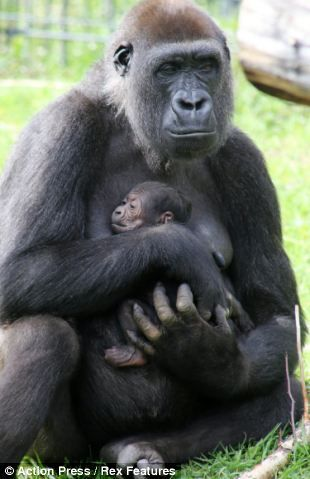 Mother's pride: Nimba the gorilla cradles her newborn baby after giving birth at Dutch zoo