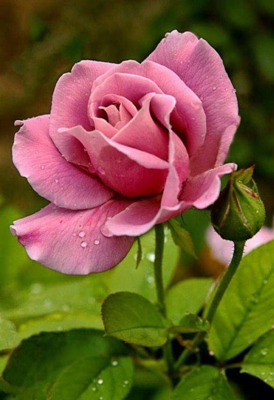 Mistic rose