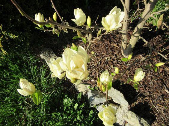 Großblumige Magnolie in gelb
