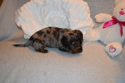 Dachshund Puppy For Sale In Benton Ar Adn 58646 On Puppyfinder