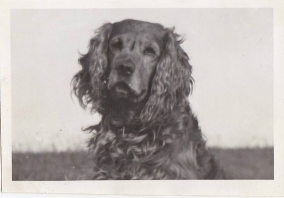 VINTAGE PHOTO DOGS PUPPIES BROWN SPRINGER SPANIEL