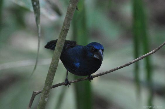 Blue-black Grosbeak