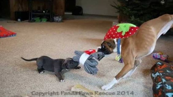 Panda Paws Rescue is back with a new video featuring two-legged wonderdog Duncan Lou Who and his little puppy pal Meaty, who was born with swimmer's syndrome. The pair play tug o' war with a bundle of socks found under the Christmas tree.