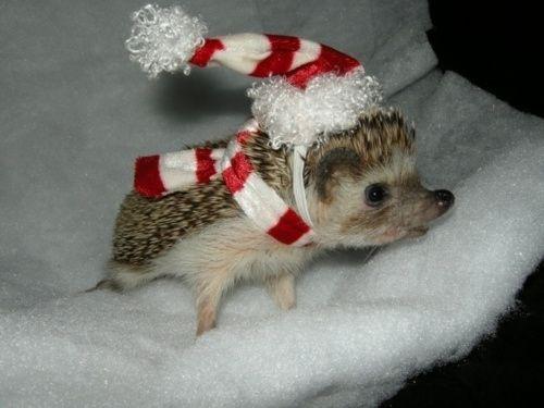 hedgehog just too adorable!