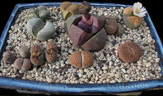 Plantas Suculentas: cultivo