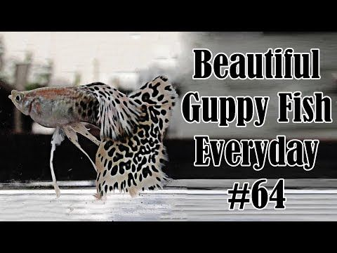 Guppy Channel Beautiful Guppy Fish Everyday 64 Youtube Gupi