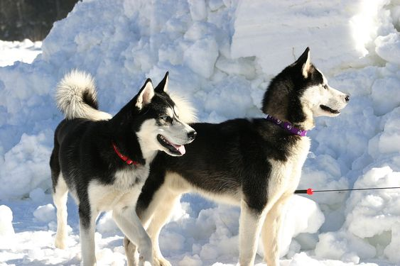 Love Siberian Huskies? Learn all about them here!