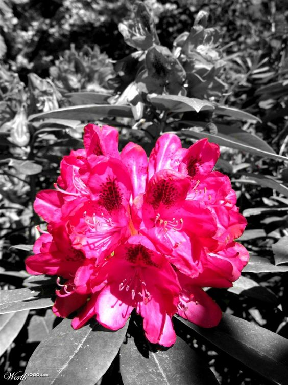 Pink Rhoddy - Worth1000 Contests