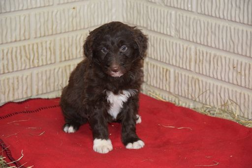 Aussiedoodle Puppy For Sale In Fredericksburg Oh Adn 65055 On
