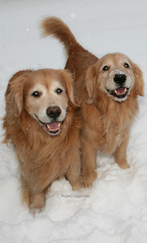 Pin By Navybluecats On Two By Two Onto Noah S Ark Dogs Golden Retriever Snow Dogs Dog Breeds