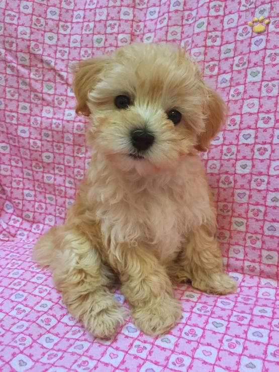 Danica Maltipoo Puppy For Sale In Meyersdale Pa Lancaster Puppies Puppies For Sale Maltipoo Puppies For Sale Maltipoo Puppy