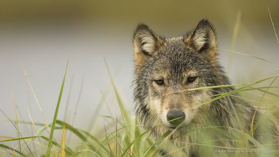Gray Wolf, Great Bear Rainforest, British Columbis by Superstock