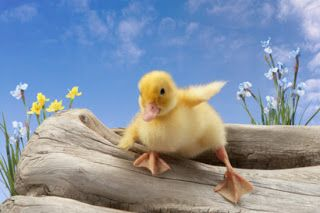 easter ducklings | Well, perhaps I have given you a few things to think about.