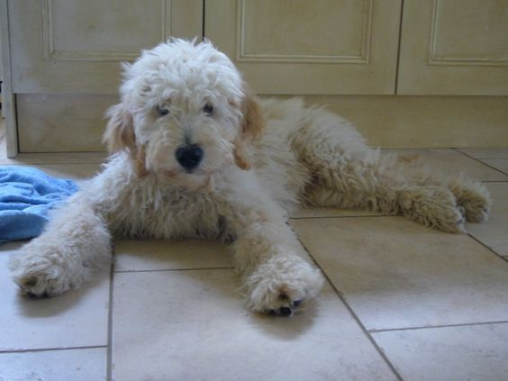 One of the world's most popular hybrid dogs, the Goldendoodle has a lot of advantages over other breeds, thanks to the Poodle/Golden Retriever mix.