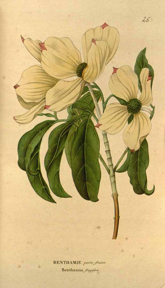 Antique Illustration, Dogwood Flower, 1817