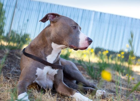 """Shelter Dogs of Portland: """"VIVIAN"""" one of the sweetest young Pitbulls in town"""