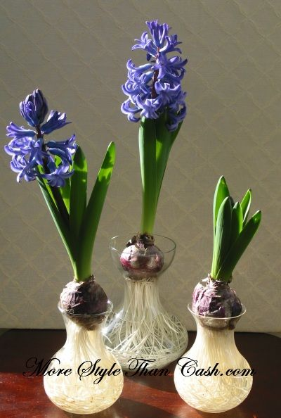 growing hyacinths in water so pretty must try diy