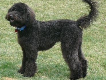 Woodle Schnoodle vs whoodle vs woodle - dog breeds comparison dogs ...