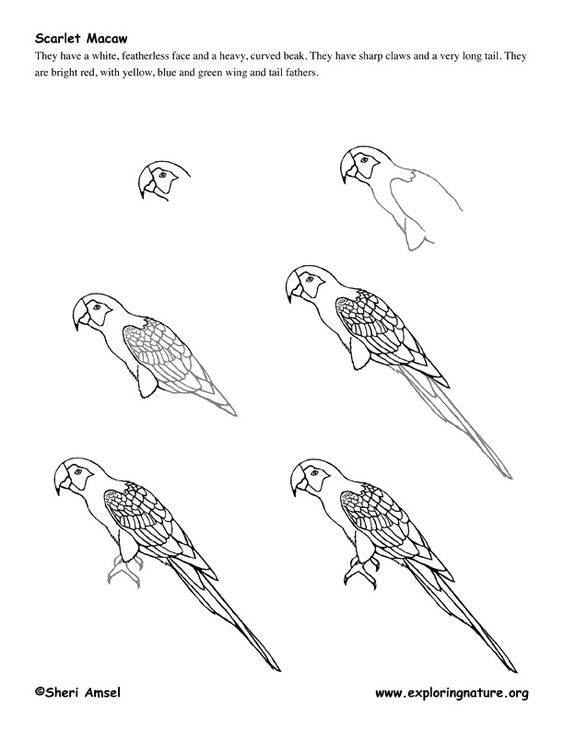 how to draw a parrot flying step by step