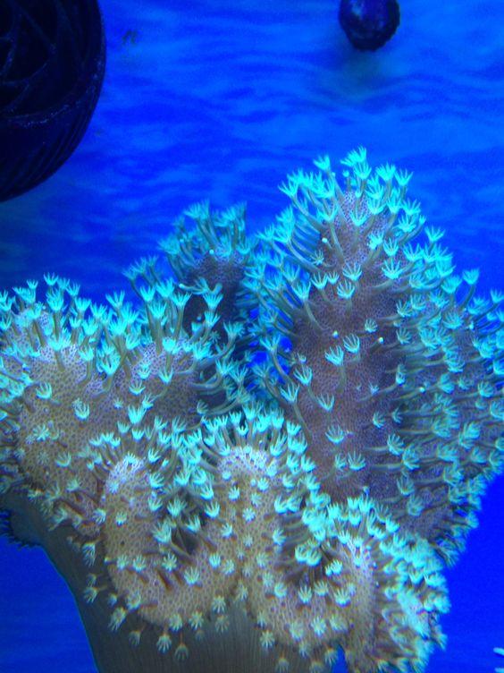 Green polyp toadstool coral reef aquarium.