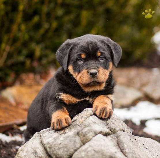 For Mommy Image By Sheila Woods Rottweiler Puppies Dog Breeds