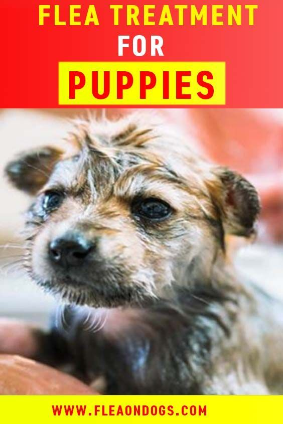 Top 8 Safe Flea Treatments For Young Puppies Flea Treatment For Puppies Fleas On Puppies Flea Treatment