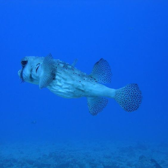 Say hi to this pretty fish!  #scuba #Hawaii #Gopro #diving with #whitespottedpuffer fish with @hawaiiscubadiving #honolulu http://ift.tt/1U3lbQj