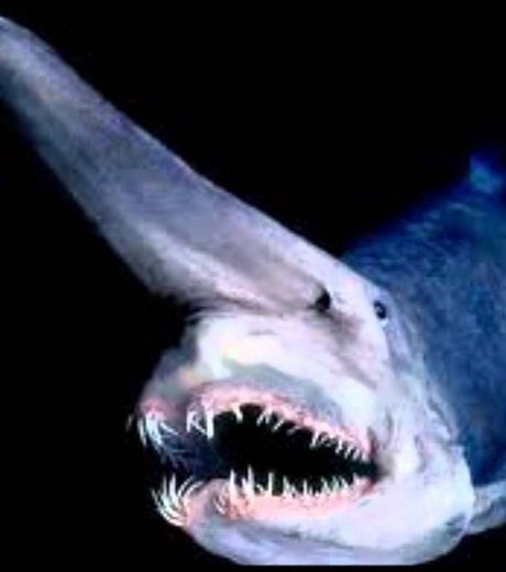 Here is the terrifying goblin shark that lives around all the coasts of the world