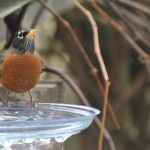 Plastic plant saucers make great temporary bird baths when temperatures dip below freezing.