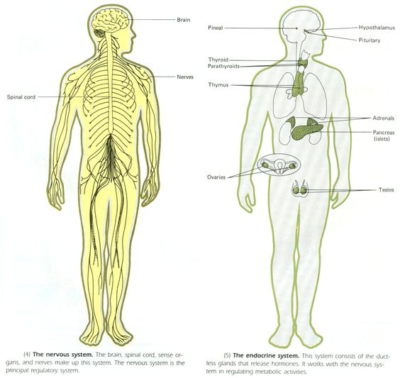 Make a chart comparing the regulatory mechanisms of the nervous system to the endocrine system.?