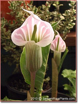 photo: Cobra lily .... luv the glow ... pale pink against olive ...: