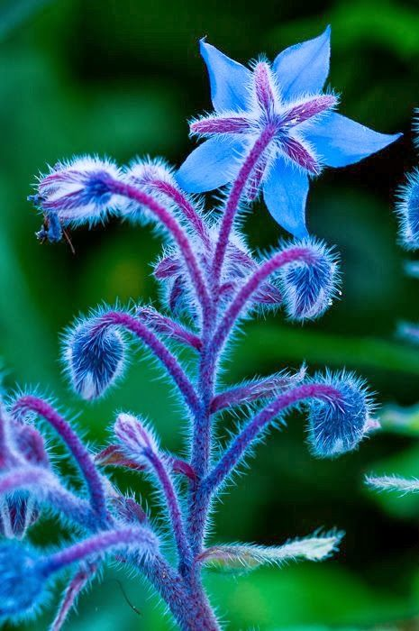 Borage - good companion plant for tomatoes, squash and strawberries and much-loved by bees.  Flowers and young leaves are edible and have a mild cucumber flavour.  Use flowers sparingly in salads and float in fruit punch / Pimms.  Flowers can also be candied for cake decorating. More: http://theepicentre.com/spice/borage/: