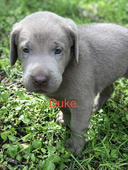 Duke Male Silver Lab Born Sept 15 Adopt Labrador Retriever S For Sale At Vip Puppies Dachshund Puppies Puppies For Sale Puppies