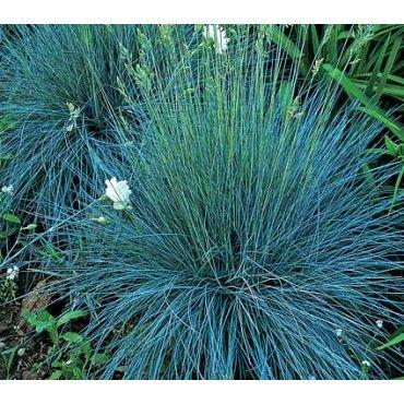 Elijah blue ornamental grass patio hillside plant ideas for Blue decorative grass