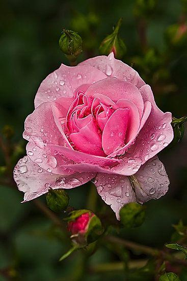 Sólo una rosa después de la lluvia huele mejor que el aroma a talco rosa de Sueños de Carlota.
