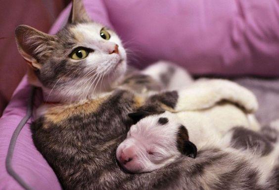 Un bébé pitbull orphelin est adopté par une chatte déjà mère de quatre chatons à Cleveland (Ohio, Etats-Unis)
