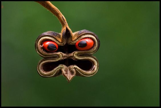 """He looks angry ;-) Abrus seed pod: """"one of the components of this seed is one of the most toxic substances in nature. By Sylvan Dieckmann:"""