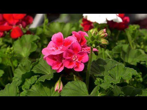 Pelargonie Jak Sadzic Zeby Dlugo Rosly Kwiaty Na Balkon I Taras Youtube Flowers Plants Rose