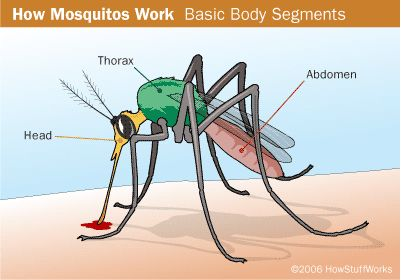Body Parts of a Mosquito. Did you know that only female mosquitoes suck blood? Read more about mosquitoes here: http://easyscienceforkids.com/all-about-mosquitoes/