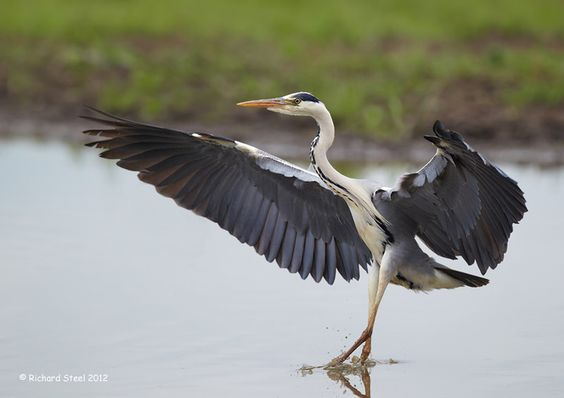 Grey Heron - Wildlife Photographic Journals: July 2012